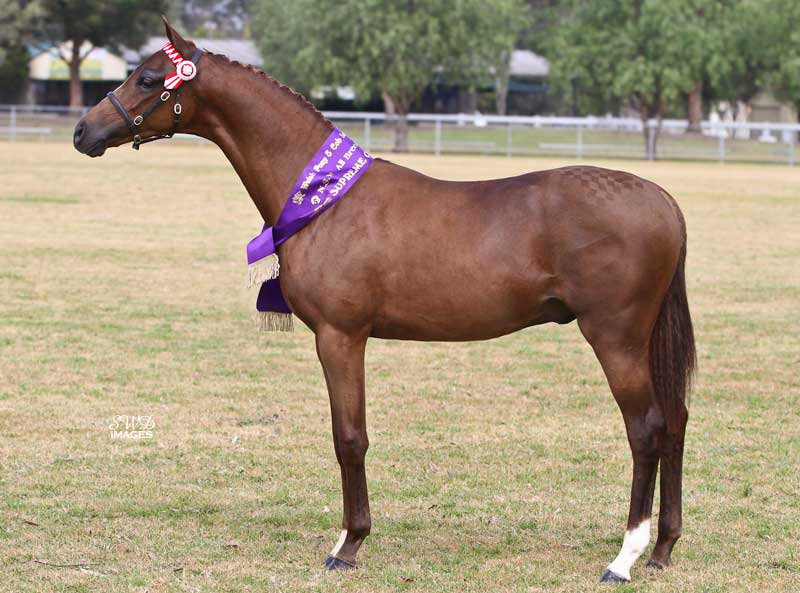 Progeny_-CP-Tour-of-Duty_Supreme-NSW-Foal-Show-14_SWD