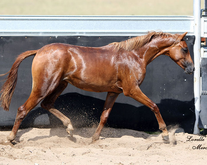 CP-Indulgence-yearling-yards-trot_LM
